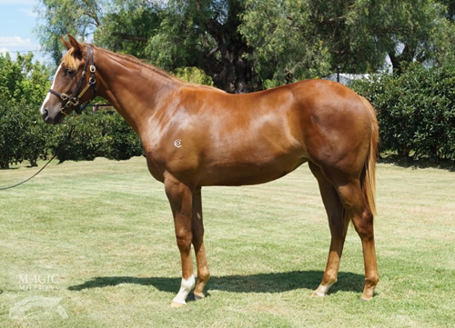 LIFE ON THE WIREPluck filly pictured before the Adelaide Magic Millions
